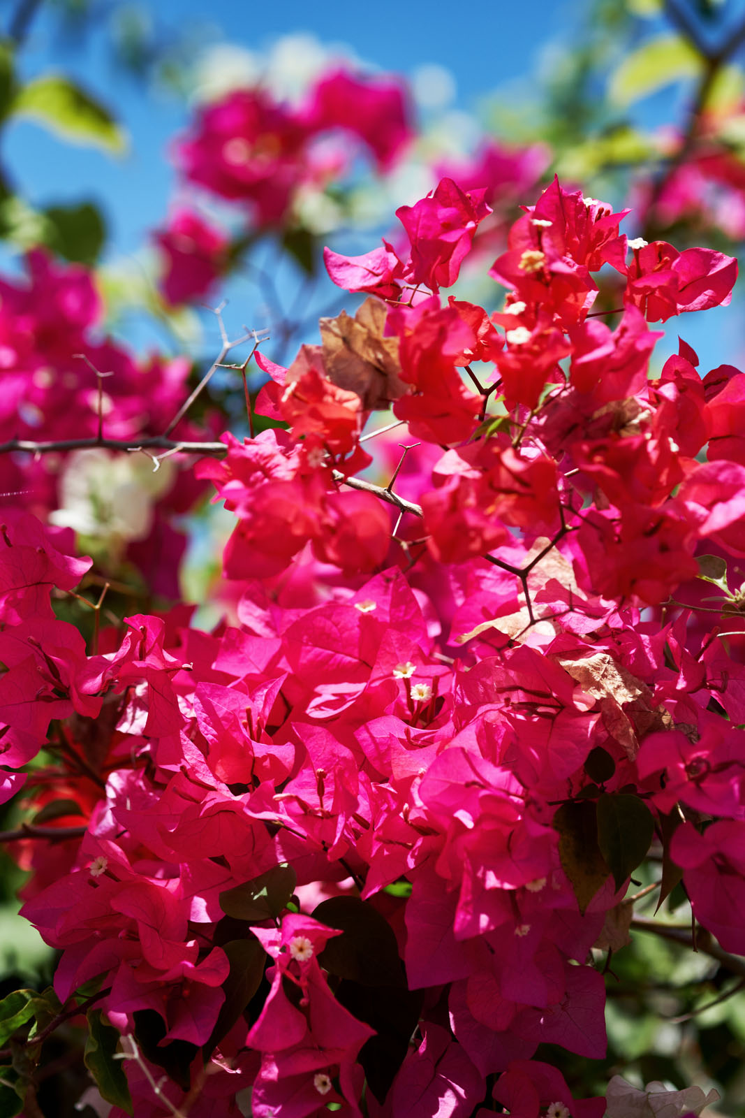 bougainvillea flourishes on these islands